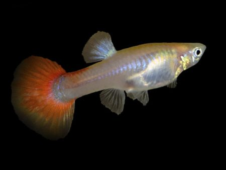 Guppy Red Tail (Female)