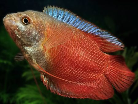 Trichogaster lalius «Red Neon»