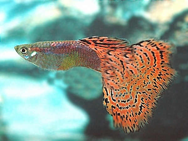 Guppy Red Spotted Variegated