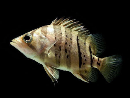 Datnioides microlepis