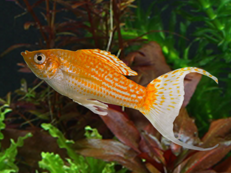 Red Spotted Silver Lyretail Molly