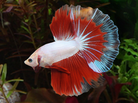 Red Butterfly Halfmoon Betta