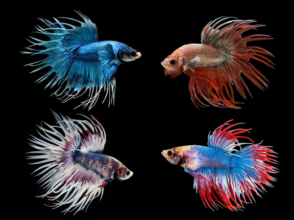 Assorted Crowntail Betta (Males)