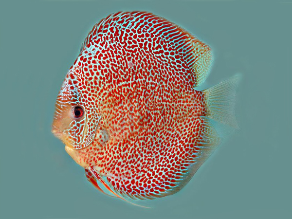Discus Leopard Snake