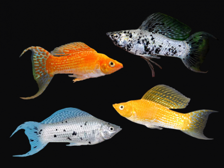 Pairs of Assorted Lyretail Sailfin Mollies