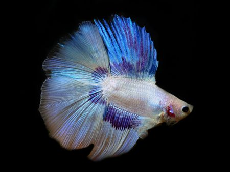 Halfmoon Double Tail Betta