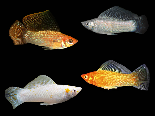 Pairs of Assorted Sailfin Mollies
