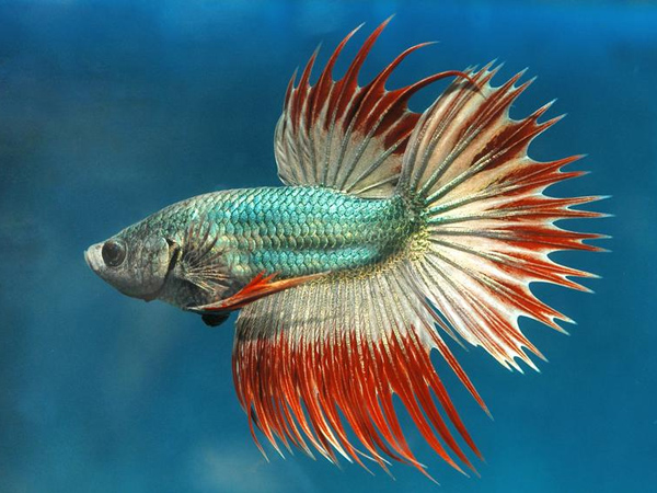 Cambodian Crowntail Betta