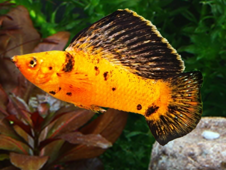 Pair of Leopard Sailfin Molly