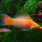 Red Spotted Sailfin Molly (Male)