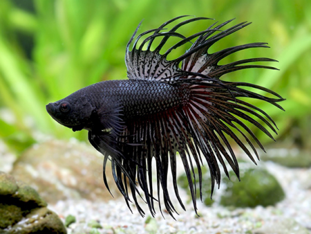 Black Smoke Crowntail Betta