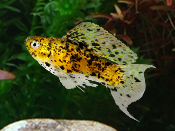 Gold Leopard Lyretail Sailfin Molly (Male)