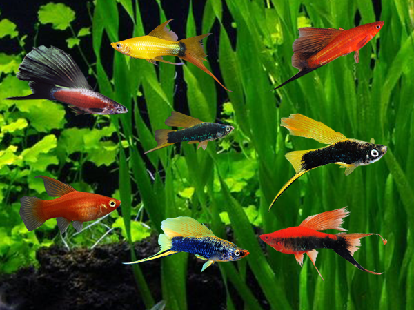 Assorted Highfin Swordtails