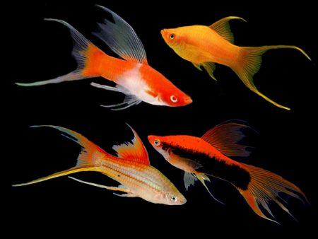 Assorted Lyretail Swordtails