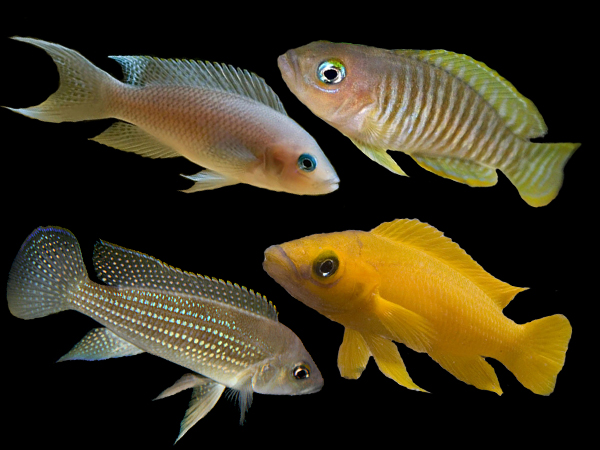 Assorted Neolamprologus species