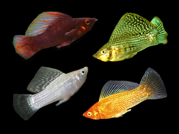 Assorted Sailfin Mollies (Males)
