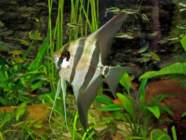 Atabapo Altum Angelfish