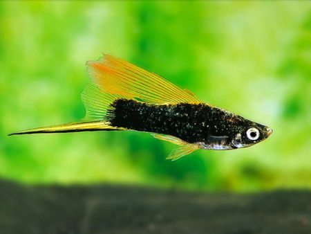 Black Highfin Swordtail