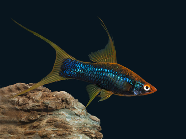 Black Lyretail Swordtail