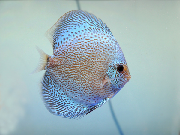 Discus Blue Scorpion