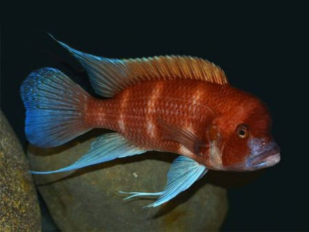 Cyphotilapia frontosa «Red»