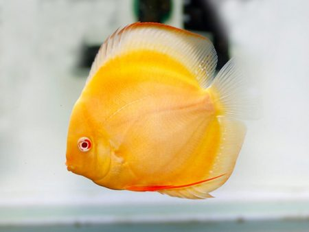Discus Golden Sanrise
