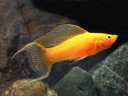 Gold Lyretail Sailfin Molly (Poecilia latipinna)