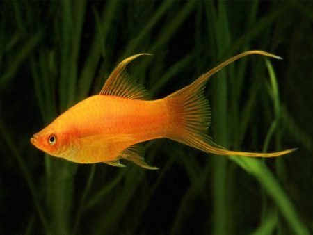 Golden Lyretail Swordtail