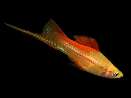 Golden Moon Swordtail