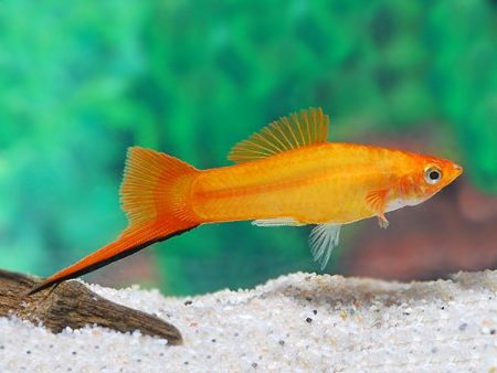 Golden Swordtail