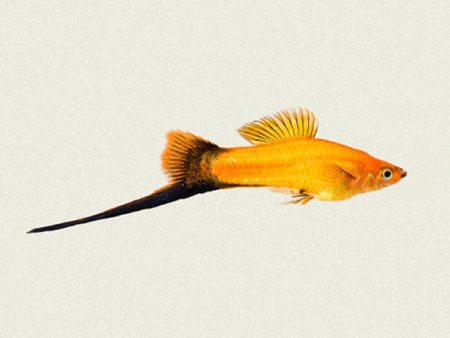 Golden Wagtail Swordtail