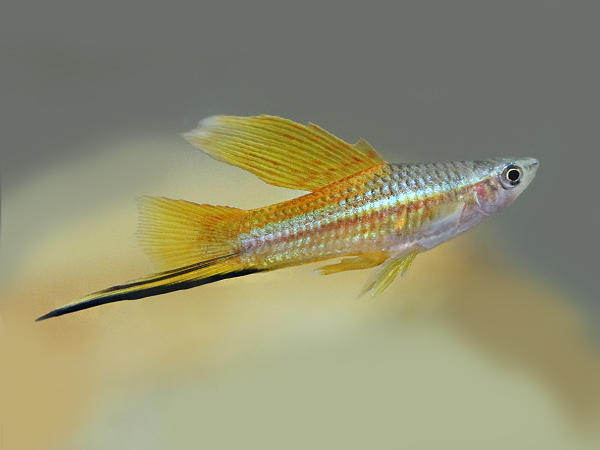 Golden Highfin Swordtail