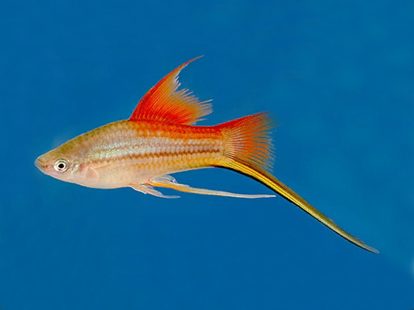 Neon Highfin Swordtail