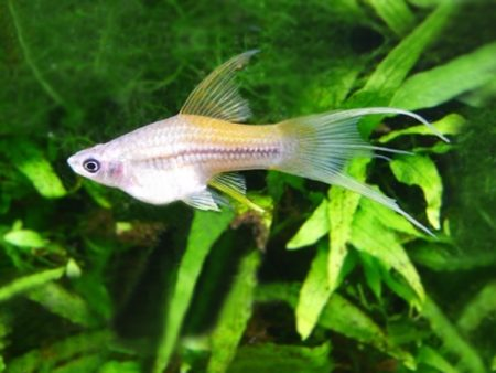 Neon Lyretail Swordtail