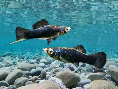 Pair of Black Swordtail