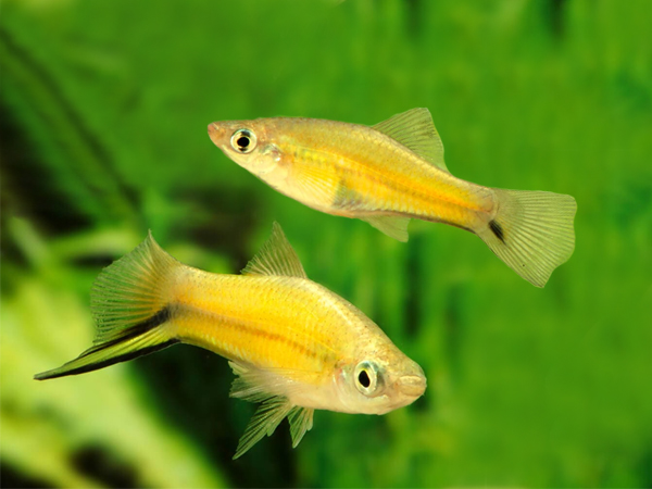 Pair of Golden Swordtail