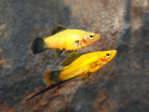 Pair of Golden Wagtail Swordtail