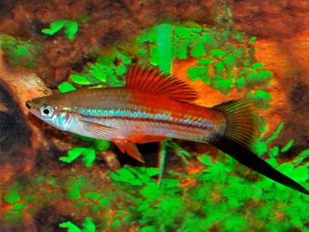Neon Wagtail Swordtail