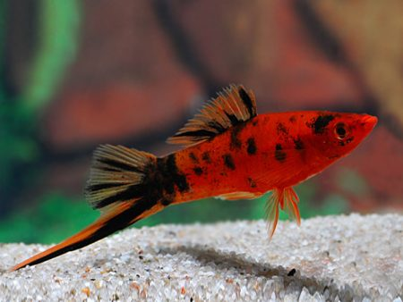 Red Calico Swordtail