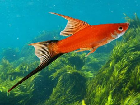 Red Wagtail Highfin Swordtail