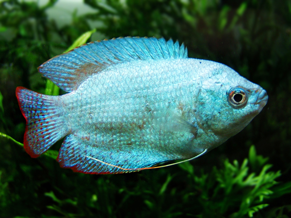 Pair of Trichogaster lalius «Blue Coral»