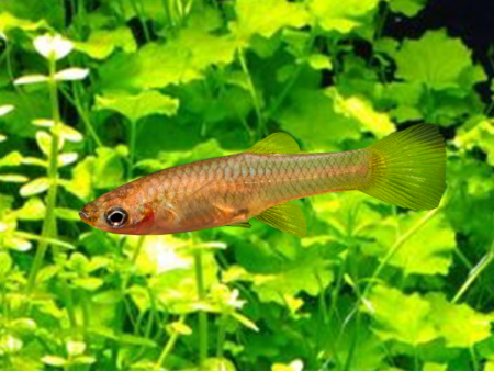 Red Dwarf Guppy Females