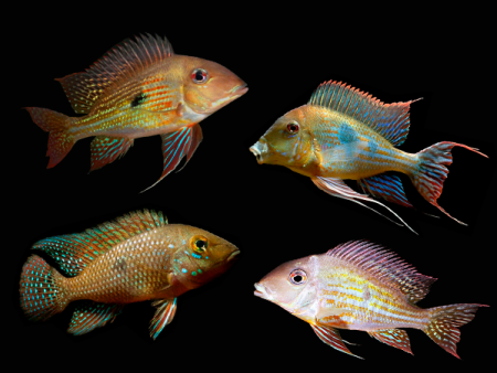 Geophagus sp. «Assorted»