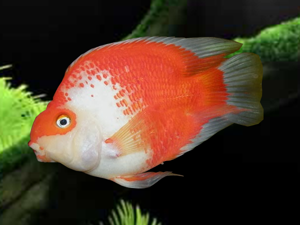 Red And White Blood Parrot Cichlid