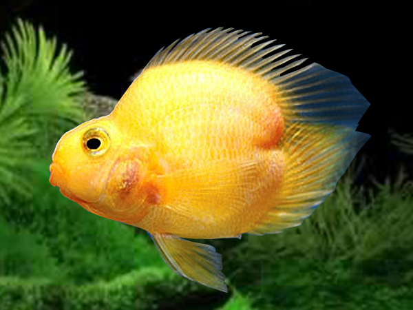 Yellow Heart Blood Parrot Cichlid
