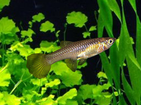 Leopard Tail Dwarf Guppy Females