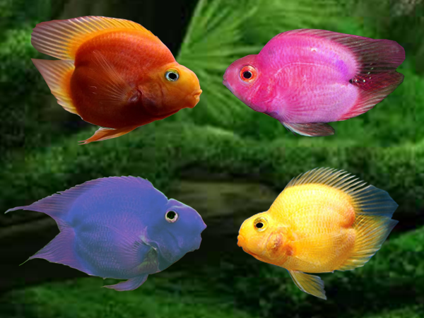 Assorted Heart Blood Parrot Cichlid