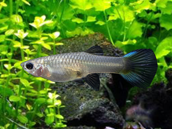 Japan Blue Sword Dwarf Guppy Females