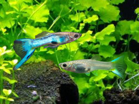 Pair of Japan Blue Sword Dwarf Guppy