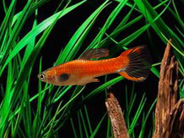 Pair of Orange Dwarf Guppy